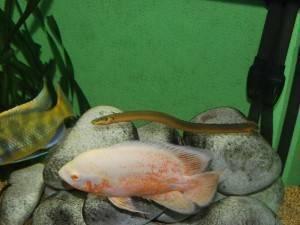 Рыба-змея, или каламоихт калабарский: содержание и фото
