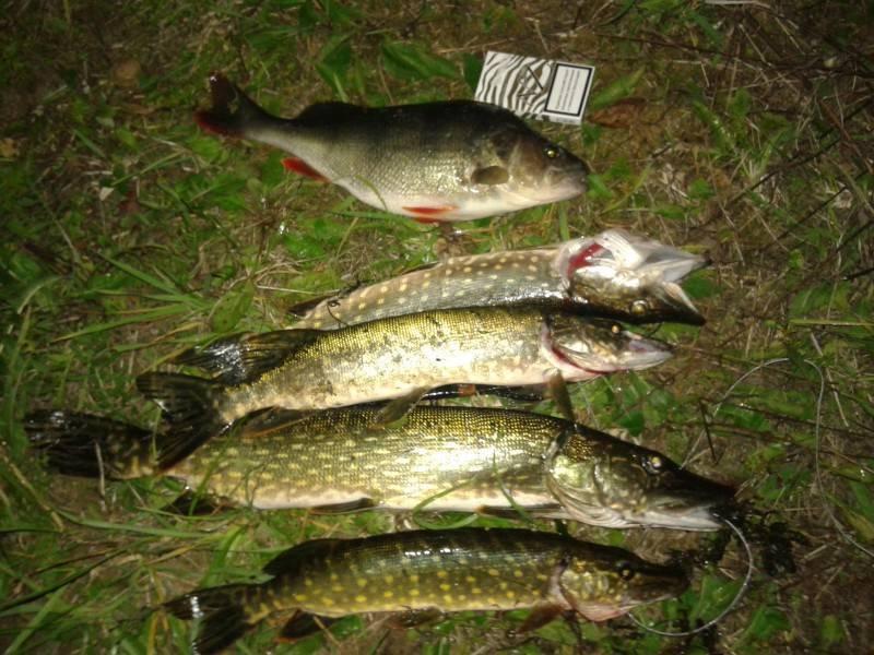 Рыбалка в начале июня на карпа, карася, язя, щуку, судака, окуня и сома