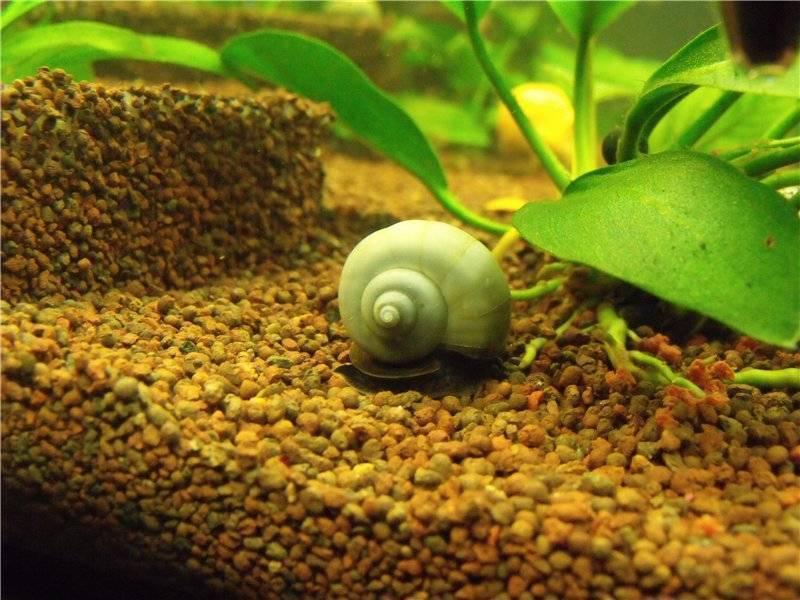 Ампулярия–аквариумная улитка: содержание, кормление, размножение