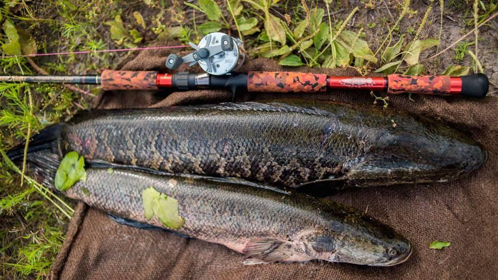 Ловля змееголова - читайте на сatcher.fish