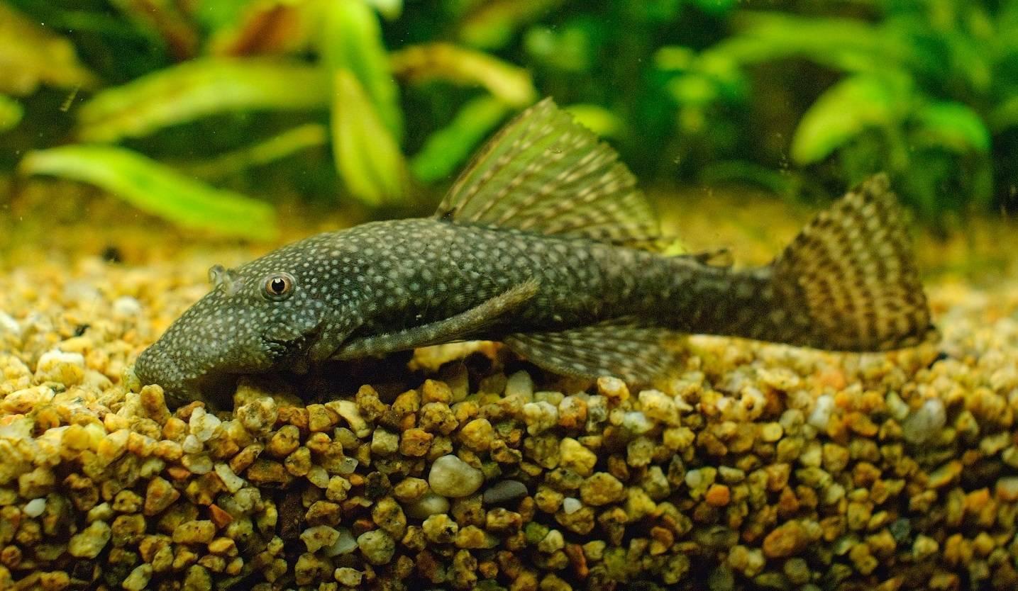 Анциструс: условия содержания и правила ухода за аквариумным сомиком