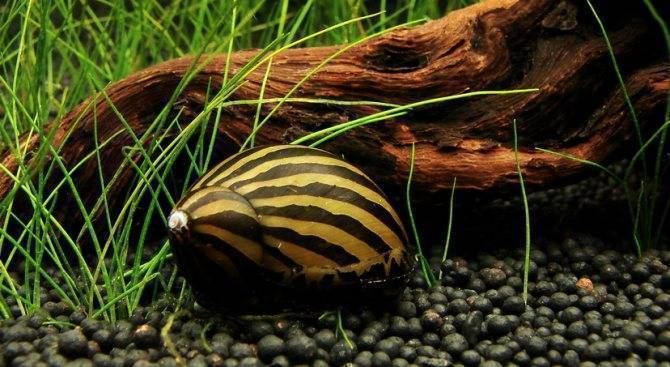 Улитка неретина: полосатая, рогатая, тигровая, зебра, виды неретин.