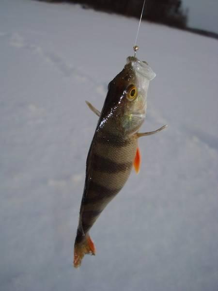 Как поймать окуня на мормышку зимой
