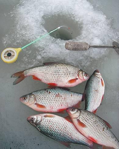 Рыбалка на плотву зимой. снасти, насадки, время ловли
