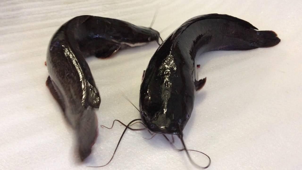 Клариевый сом » ugra-agro | оборудование для рыба разведения и рыбоводство в узв