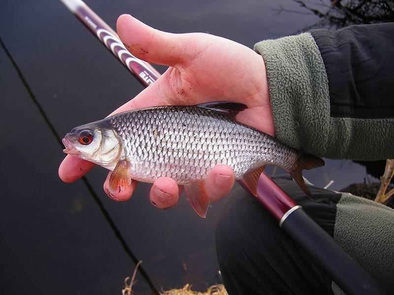 Ловля плотвы в сентябре – рыбалке.нет