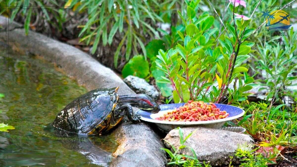 Сухопутная черепаха: продолжительность жизни, правила содержания и особенности поведения (105 фото)