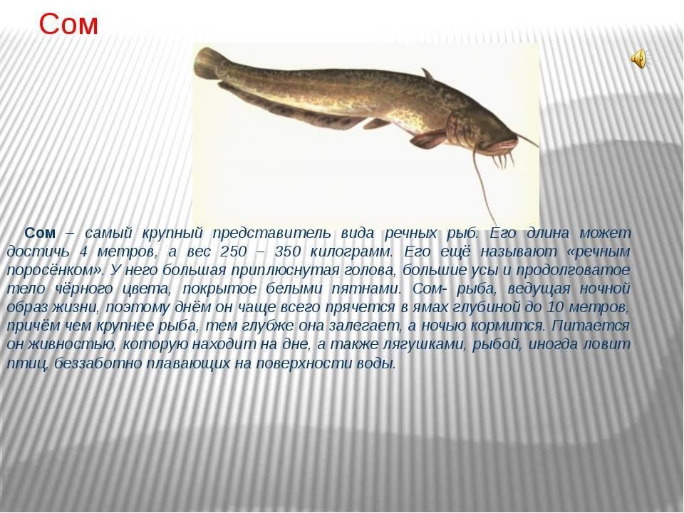 Интересные факты о рыбе сом   vivareit