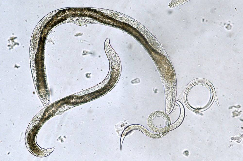 Белые черви в рыбе - подробные фото, в чем их опасность