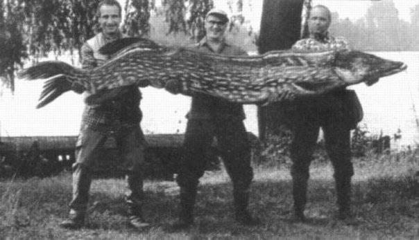 Самая большая щука пойманная в мире и россии фото и видео