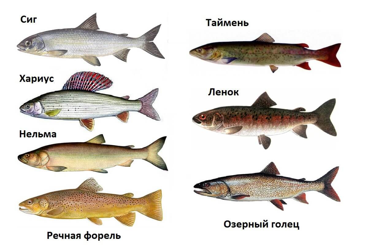 Голец — описание рыбы, польза, вред, как приготовить | здоровье и красота