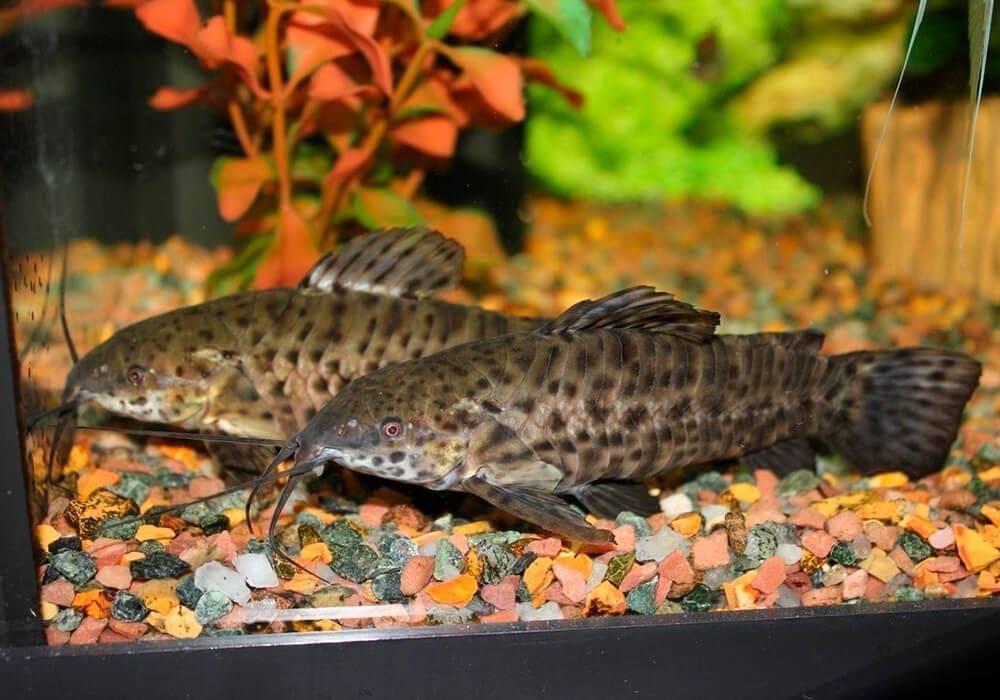 Таракатум содержание и уход за сомом: отличие самца и самки рыбки, размножение (разведение) в домашних условиях, нерест, совместимость, описание, фото