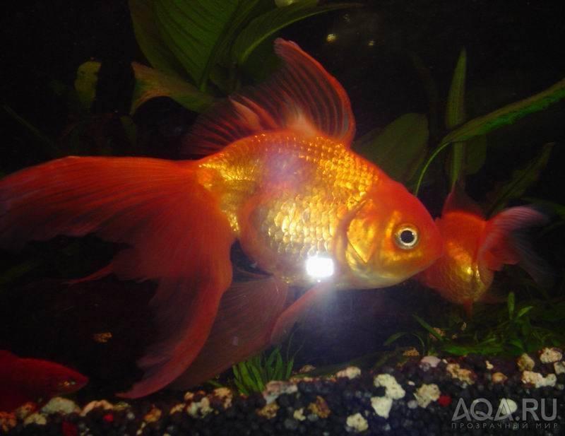 Какая память у рыб