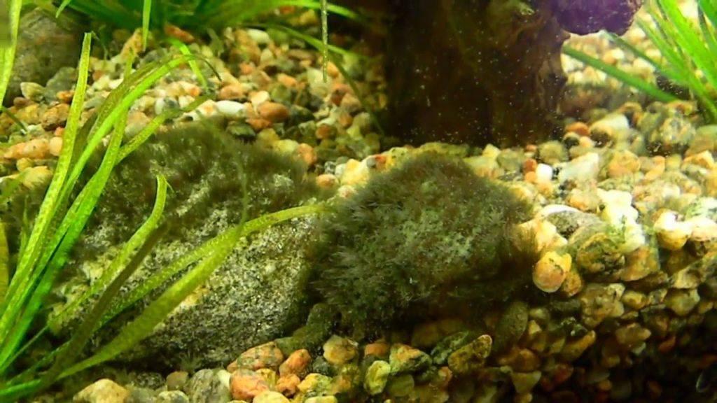 Как в аквариуме избавиться от «черной бороды»: эффективные способы и рекомендации :: syl.ru