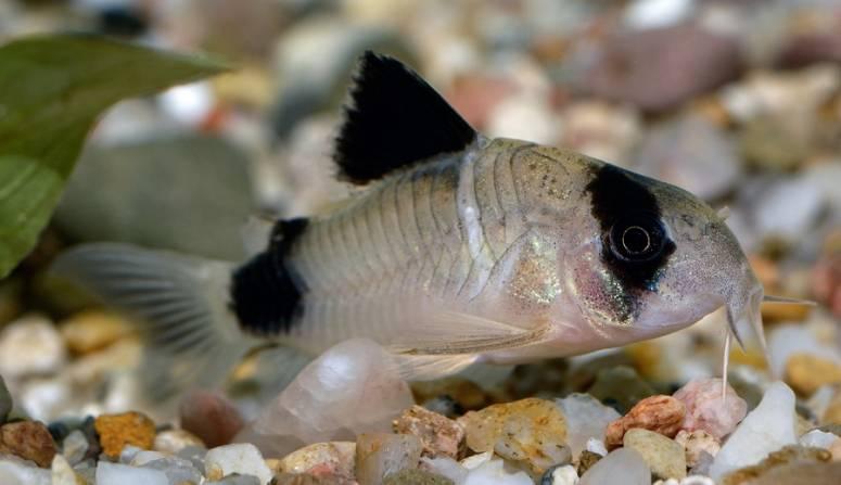 Виды сомиков и особенности их содержания в аквариумных условиях