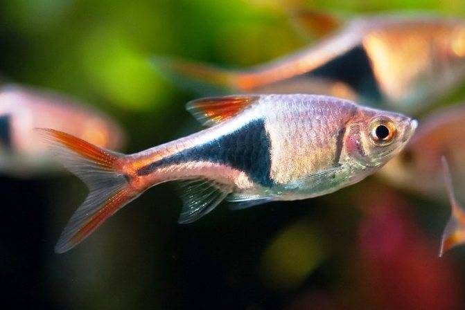 Бычок стифодон - содержание и уход в аквариуме, фото
