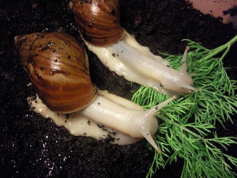 Аквариумные улитки: содержание, виды, размножение, чем кормить