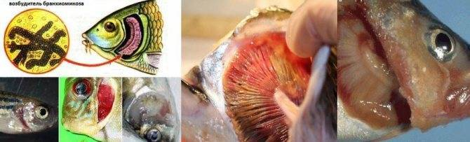 Ихтиофтириоз или манка у аквариумных рыб: симптомы, лечение в общем аквариуме, препараты