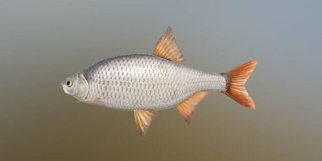 Рыба-головешка: полезная и вкусная