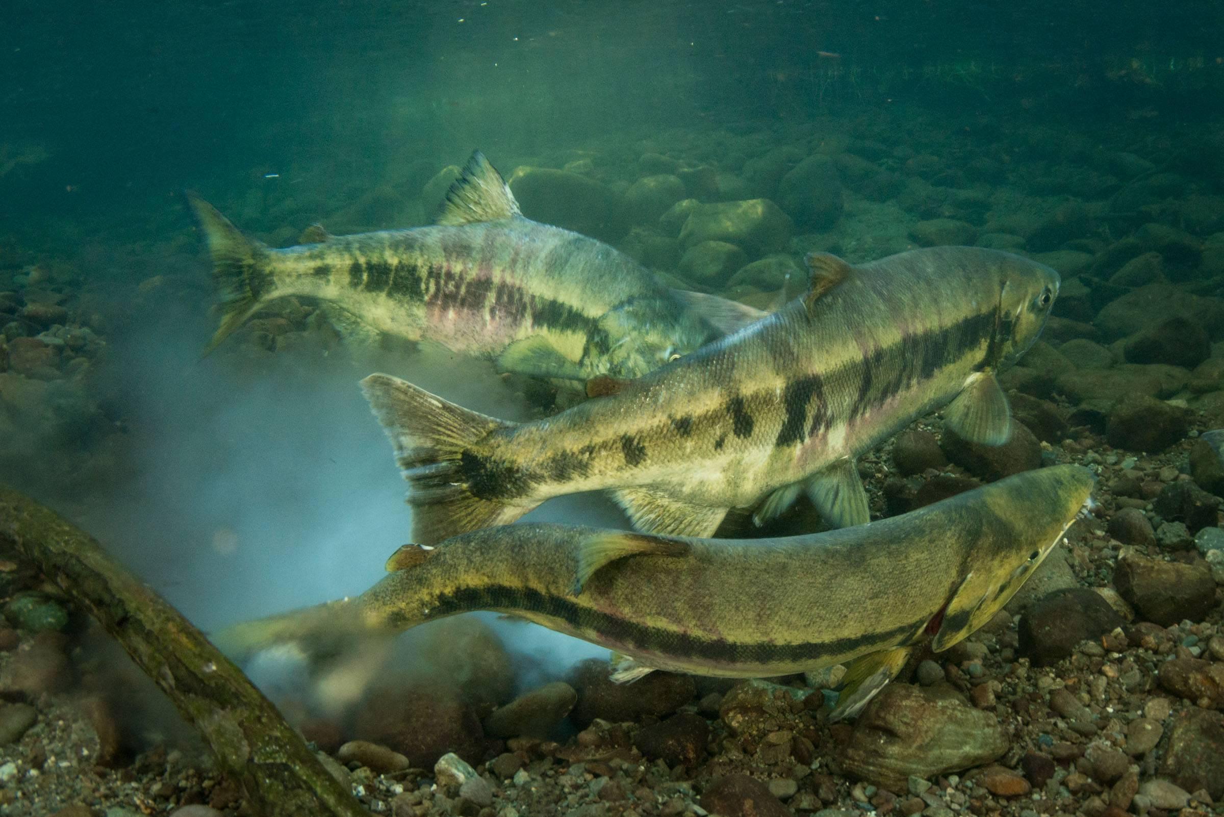 Красная рыба кета: как выглядит, где водится, как выбрать вкусную