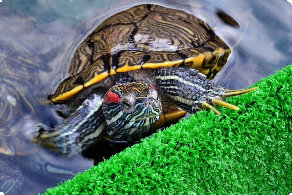 Как вылечить грибок у сухопутной черепахи