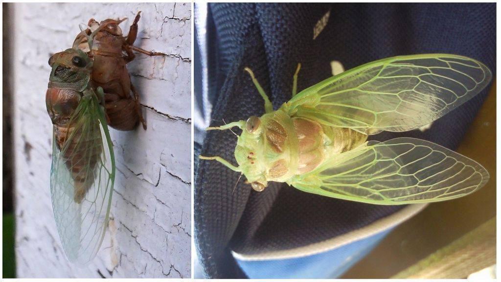 Цикада (фото): искусно поющее насекомое - kot-pes