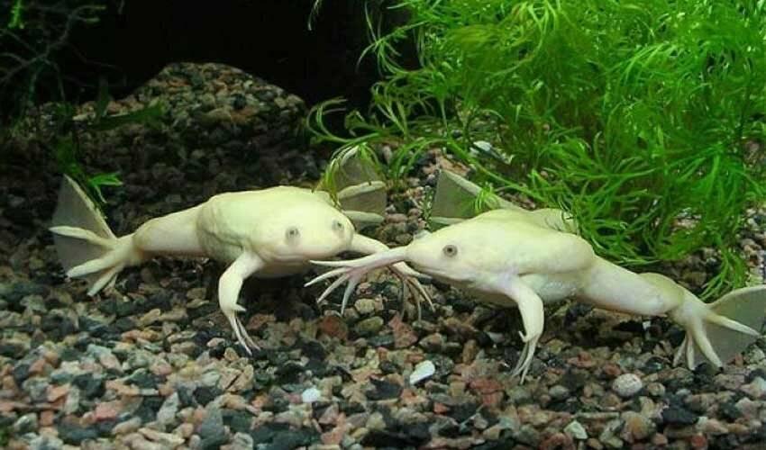 Шпорцевые лягушки, или как оживить жизнь аквариума? содержание и уход, фото