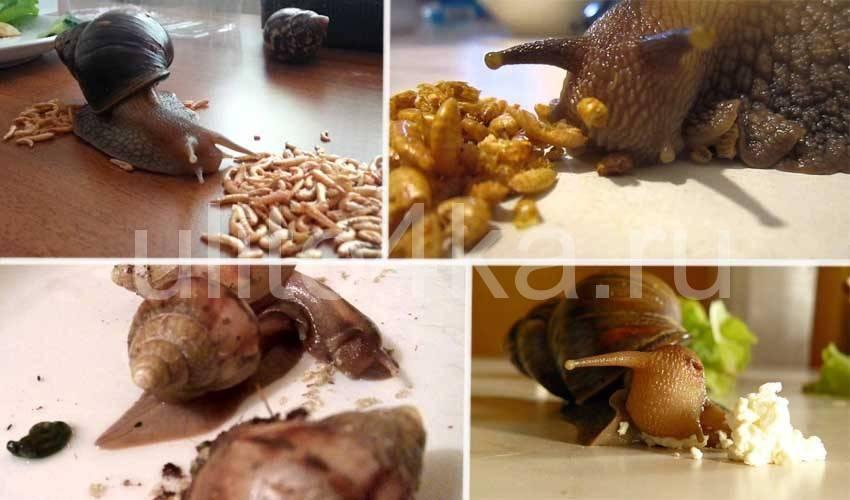 Чем кормить улиток. чем кормить улиток в домашних условиях