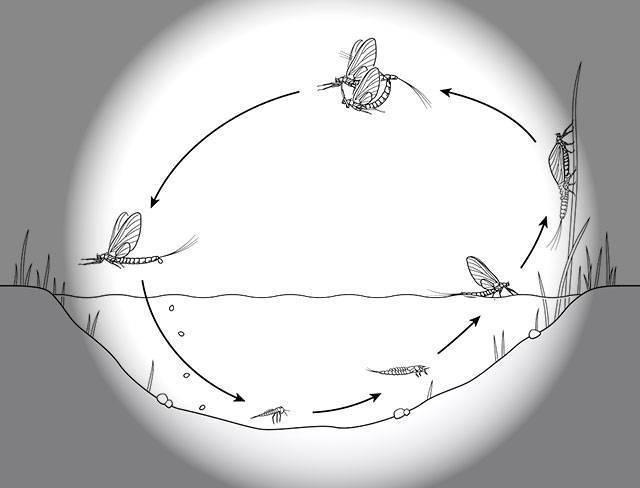 Насекомые в наживку на рыбалке, виды насекомых для рыбной ловли