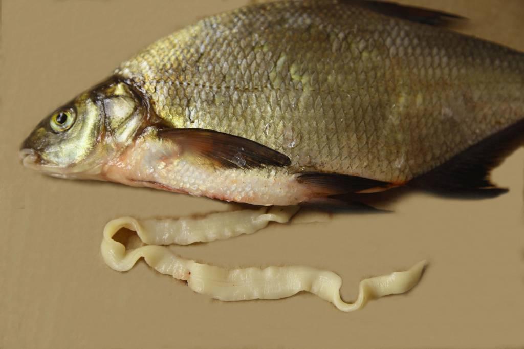 Солитер в рыбе - как выглядит паразит, опасен ли он для человека, можно ли есть зараженную рыбу