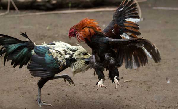Петушиные бои или все о бойцовских породах кур