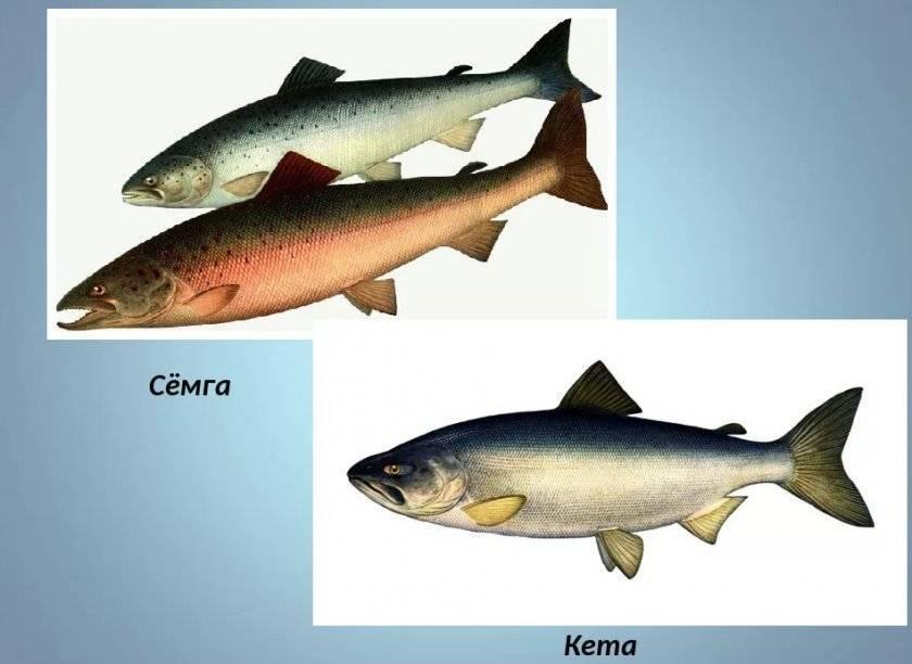 Кета - рыба семейства лососевых:ее полезные свойства