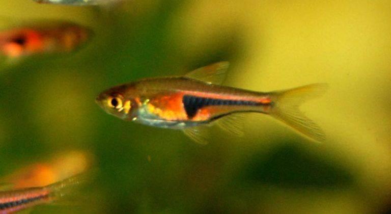 Расбора рыбка. описание, особенности, уход и совместимость расборы   животный мир
