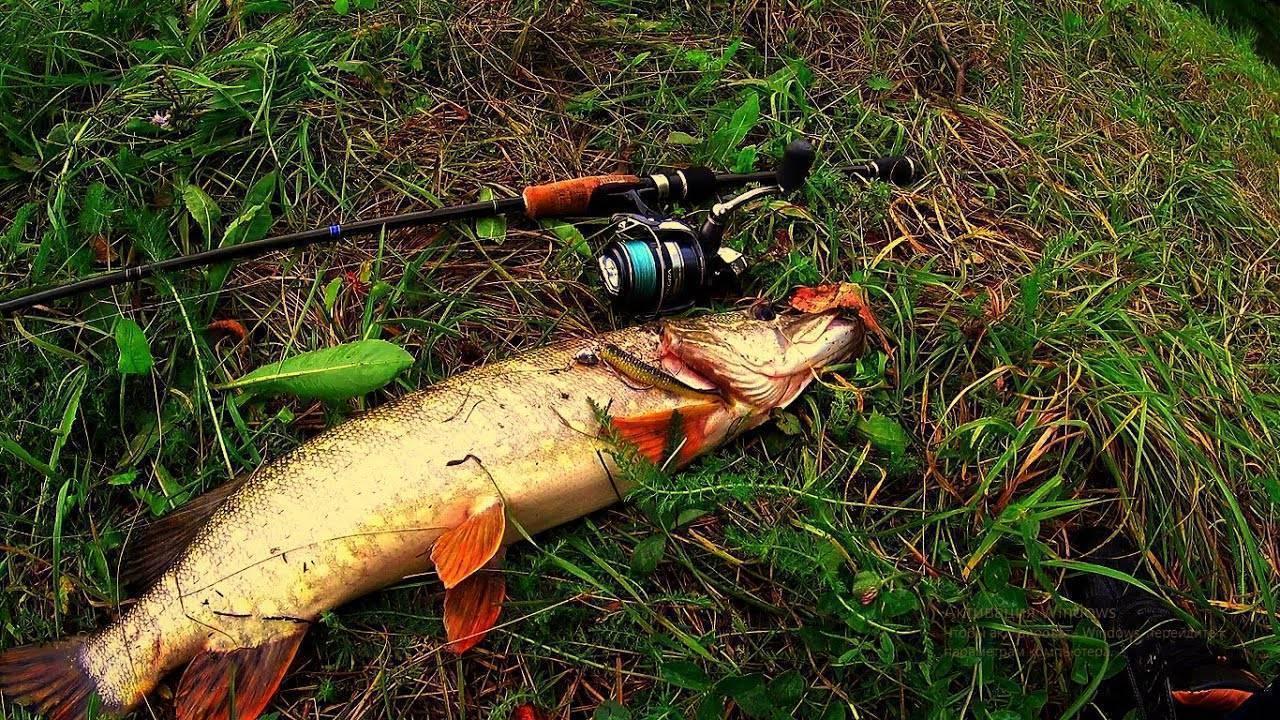 Ловля щуки на спиннинг осенью: уловистые приманки, на что клюет лучше, когда ловить, проводки. со спиннингом за крупной осенней щукой