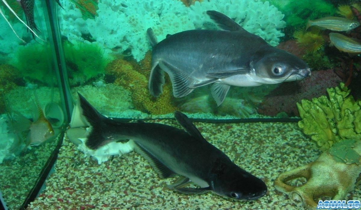Акулий сом пангасиус: содержание и совместимость в аквариуме