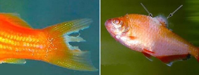 Сапролегниоз у аквариумных рыб: причины болезни, лечение