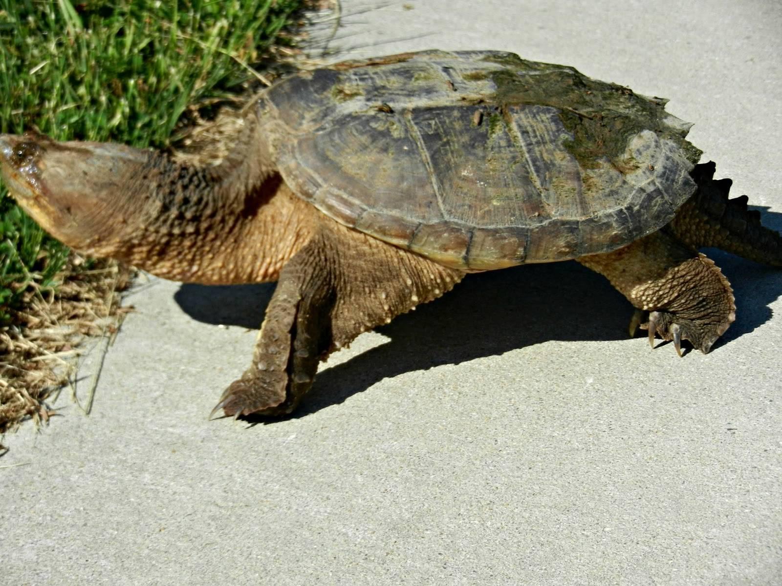 Каймановая черепаха, фото и содержание в домшних условиях