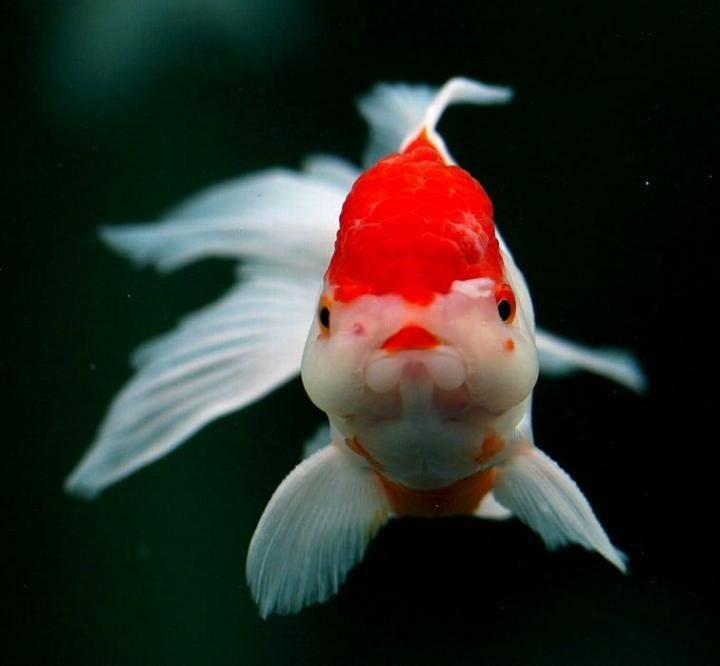 Золотая рыбка в круглом аквариуме: уход и содержание, фото и видео