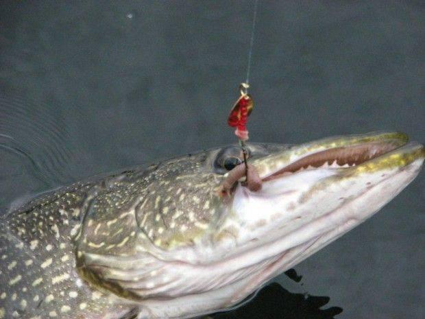 Сонник поясняет к чему снится щука. символ хищной рыбы во сне.