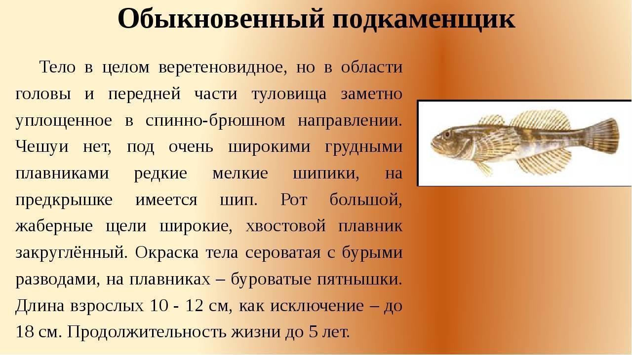 Обыкновенный подкаменщик — описание рыбы и ее повадок