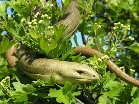 Образ жизни и отличия от змеи безногой ящерицы желтопузика