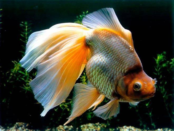 Совместимость золотых рыбок с другими (24 фото): с кем они уживаются в аквариуме? с представителями каких пород этих рыб можно держать в одном аквариуме, но нежелательно?