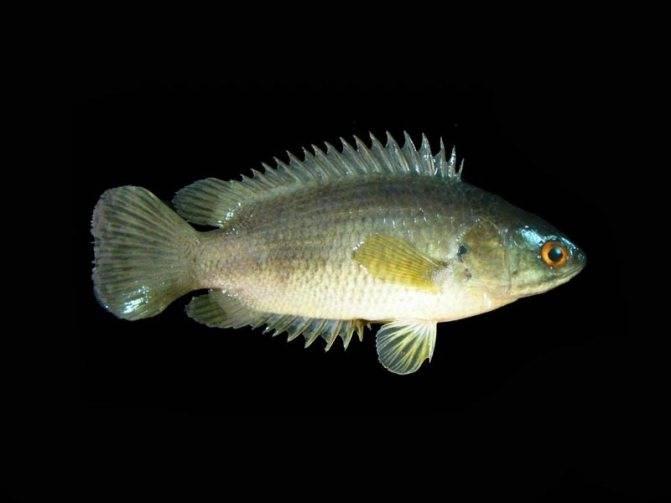 Хромис-бабочка: описание и обитание, содержание и правила ухода, питание и размножение аквариумной рыбки в домашних условиях
