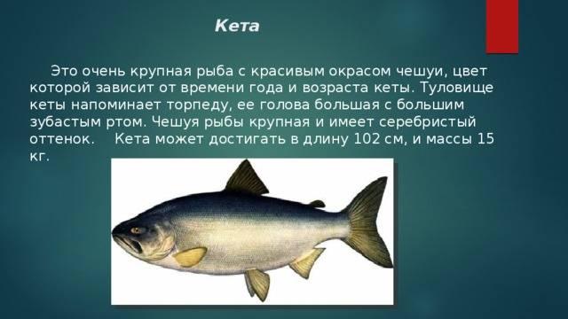 Ареал обитания рыбы кеты и способы любительской ловли - рыбалка