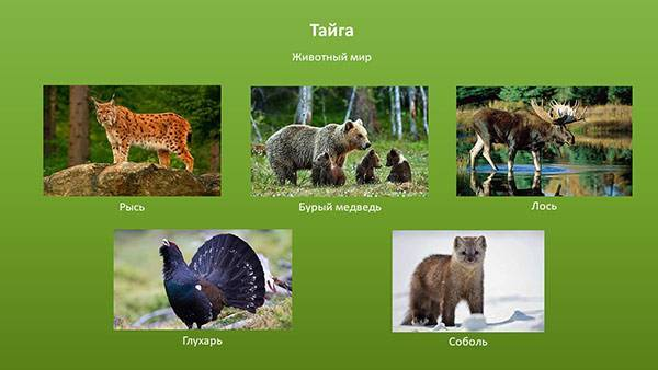 Описание и особенности животных, обитающих в тайге россии