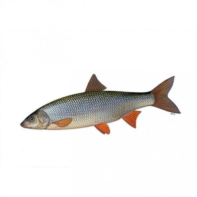 Ерш рыба: как выглядит, на что клюет, где обитает