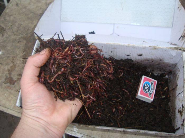 Навозный червь: тонкости выбора наживки и советы по применению червей в качестве наживки (100 фото)
