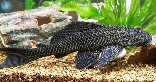 Самые популярные виды аквариумных сомов и их условия содержания