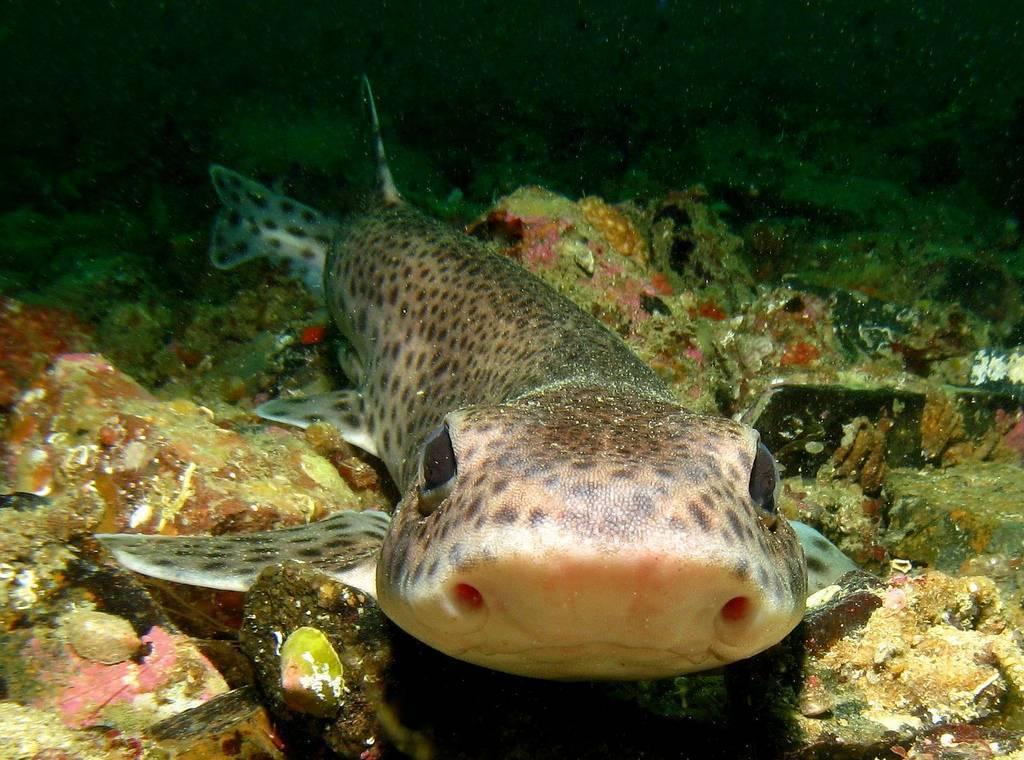 Колючая акула катран — описание, питание