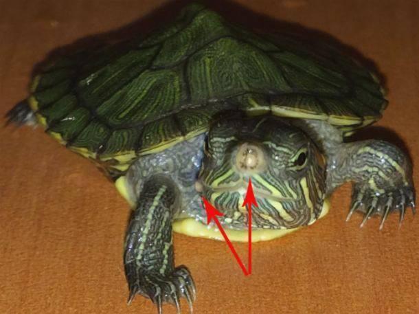 Сколько черепаха может прожить без еды в домашних условиях